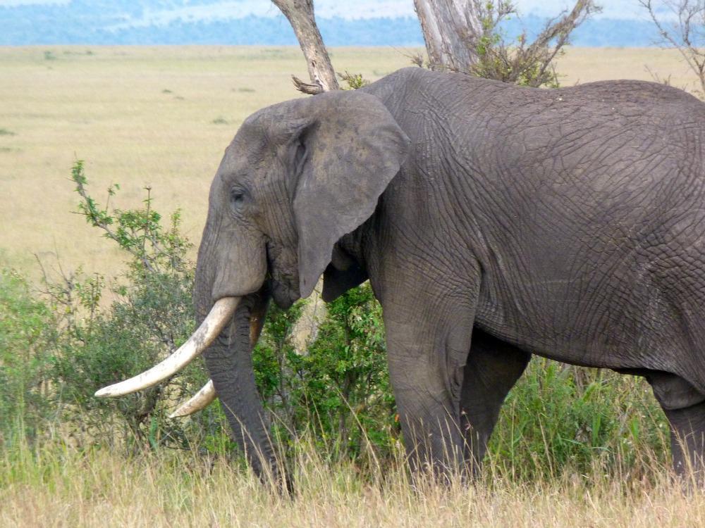 kenai-reis-safari-bestemming-olifant