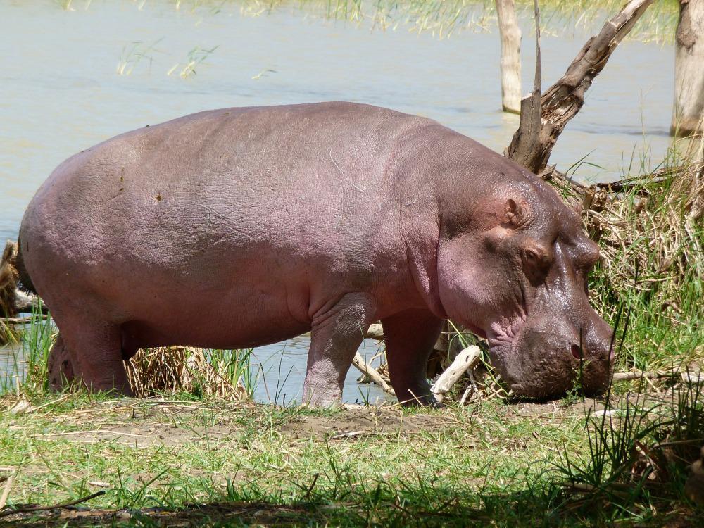 kenia-lake-baringo-nijlpaard