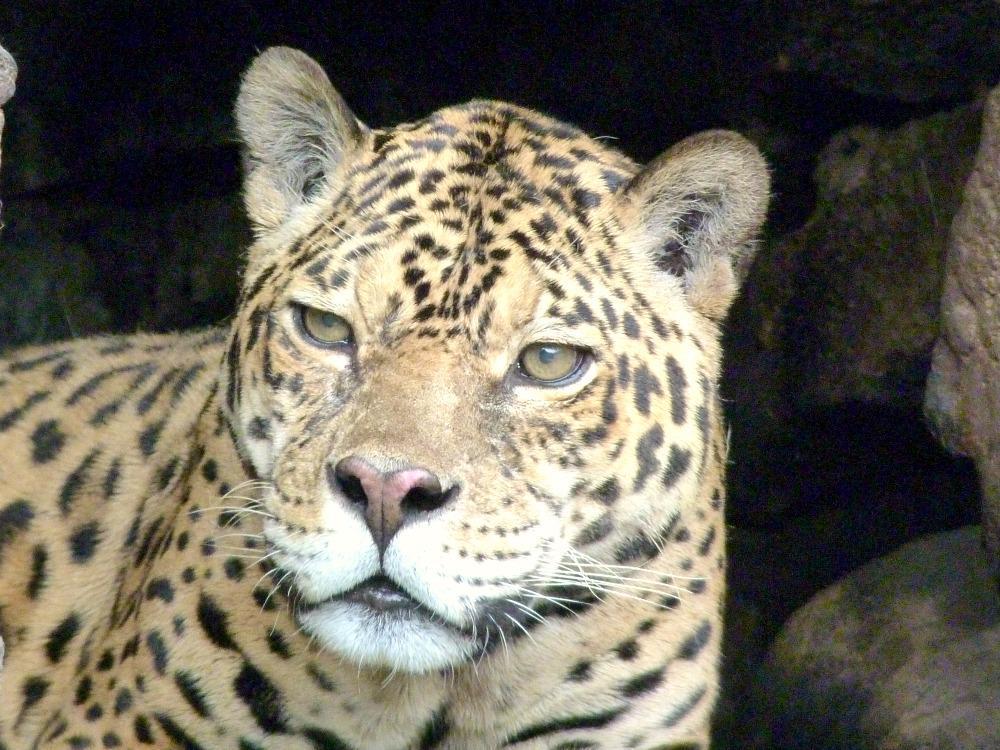 banos-tips-dierentuin-jaguar