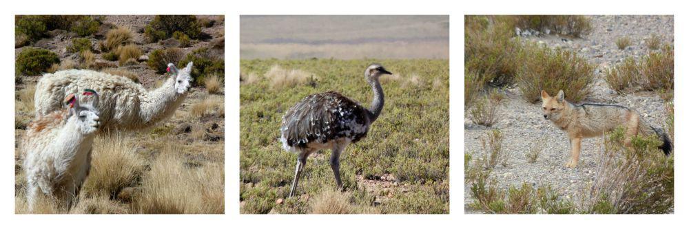 uyuni-bolivia-dieren-onderweg
