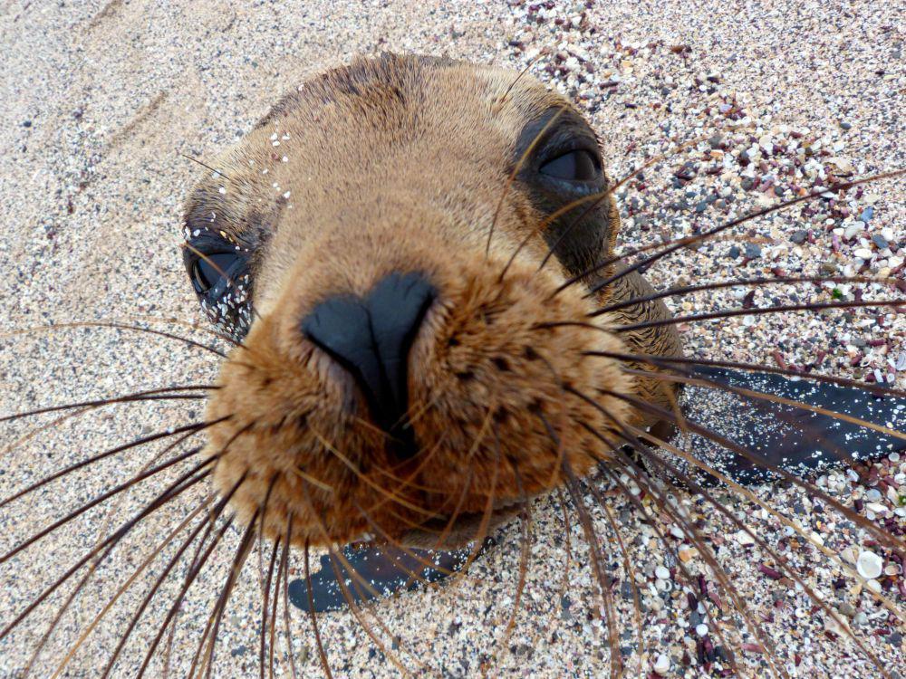 ecuador-galapagos-san-cristobal-zeeleeuw-dichtbij