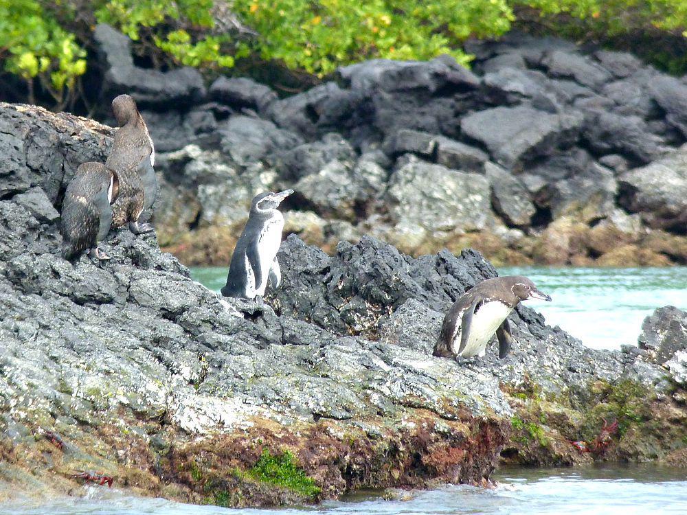 ecuador-galapagos-isabela-pinguins-rots