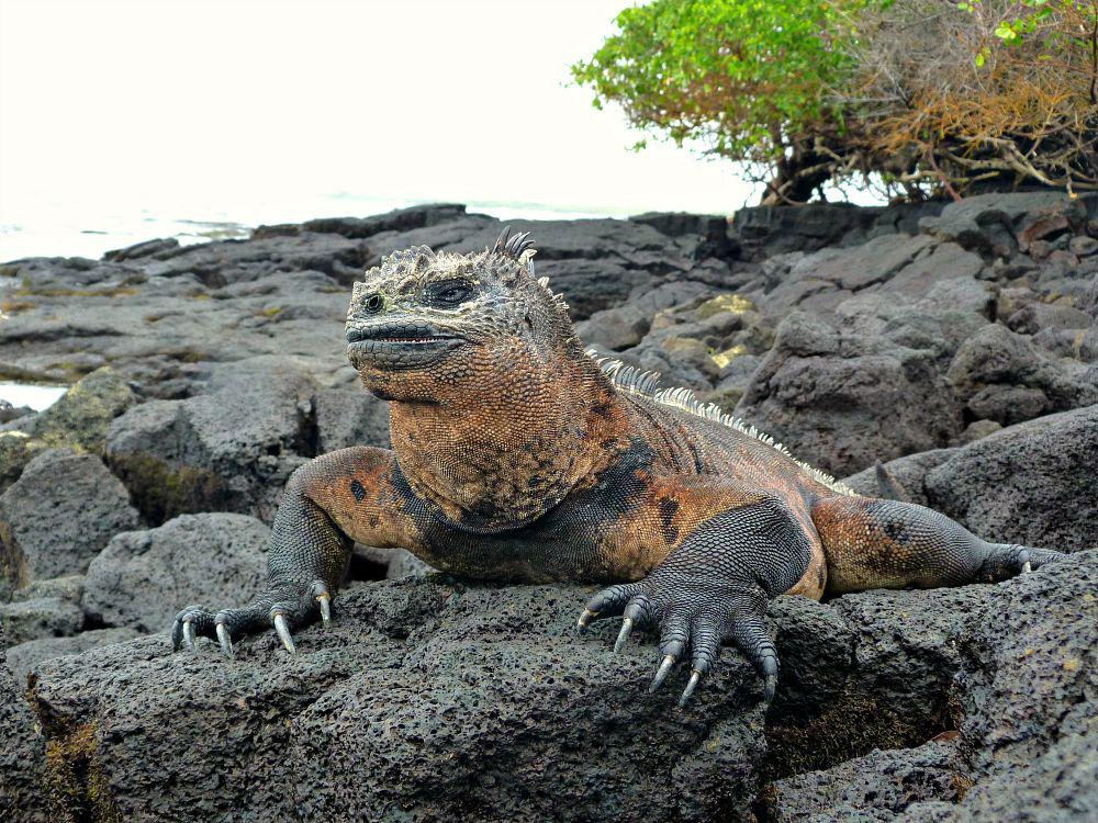 ecuador-galapagos-isabela-zeeleguaan
