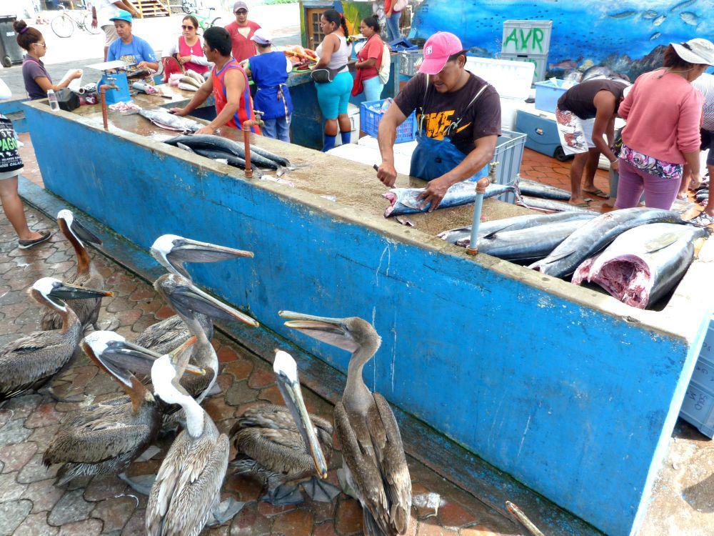 ecuador-santa-cruz-vismarkt-pelikanen