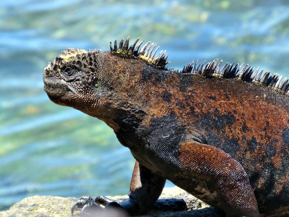 galapagos-san-cristobal-marine-iguana