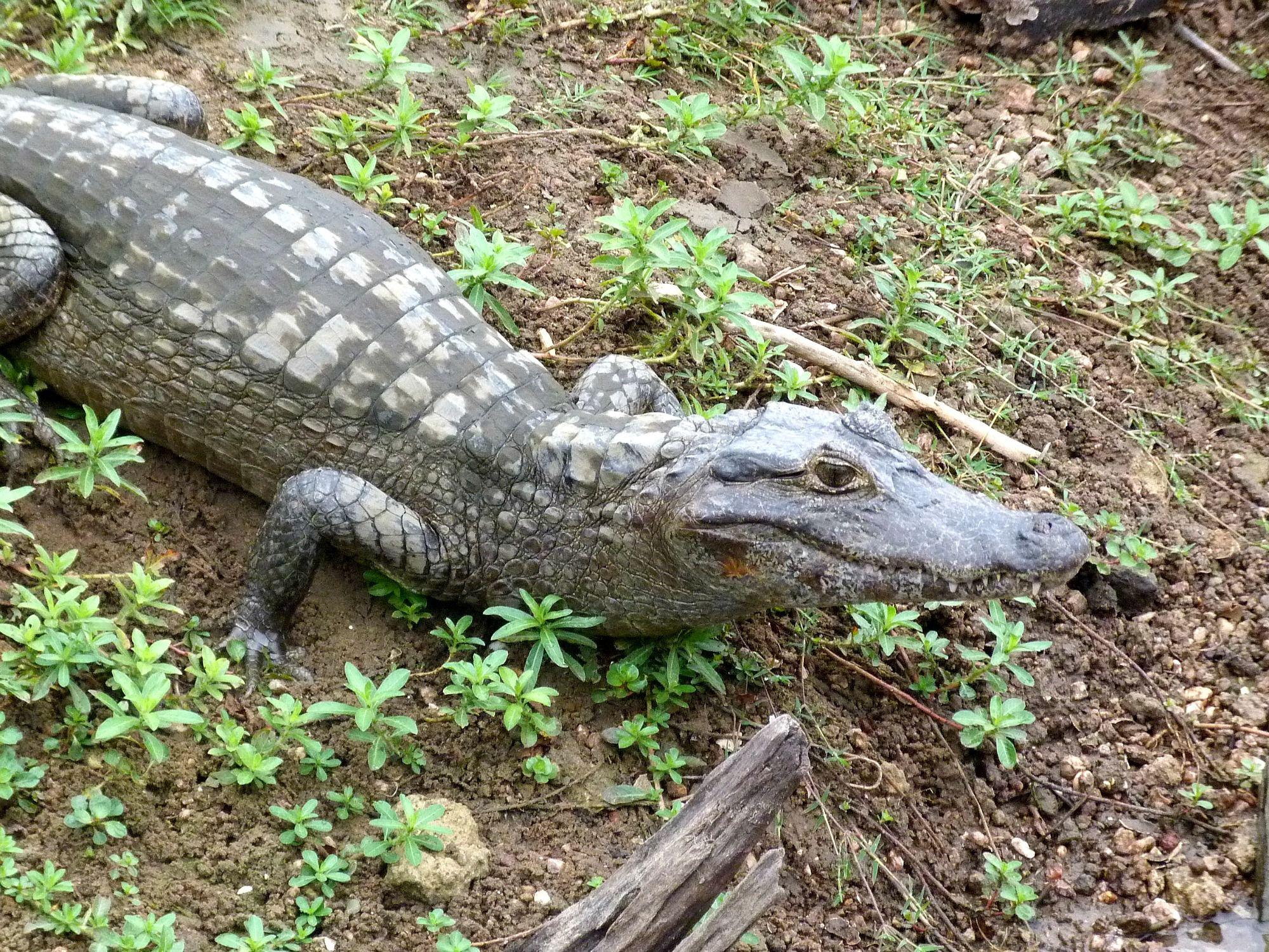 pantanal-brazilie-kaaiman-oever