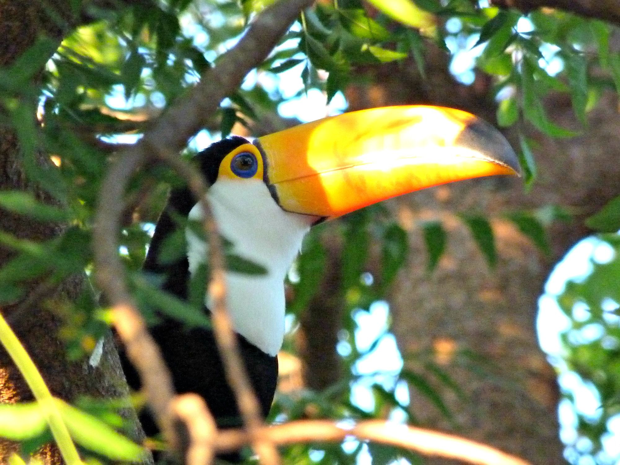 pantanal-brazilie-toekan-boom