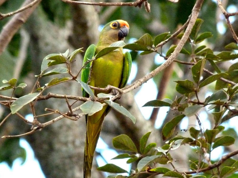 bonito-brazilie-papegaaien-spotten
