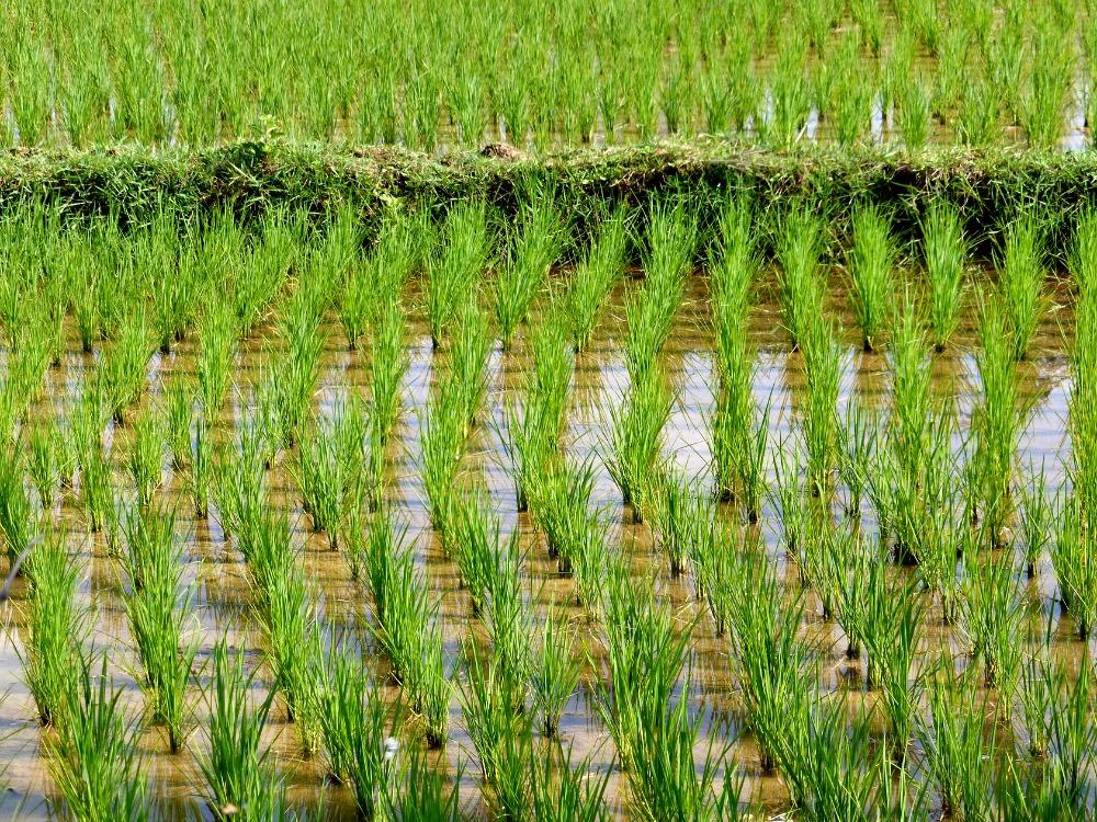 rijst excursie Luang Prabang Laos