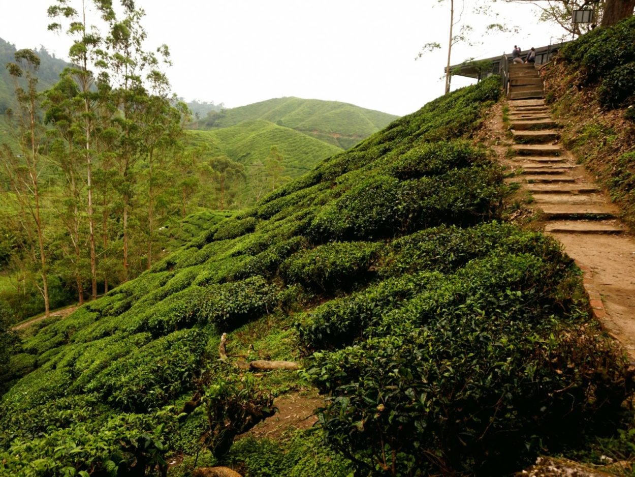 tips cameron highlands - theeheuvels