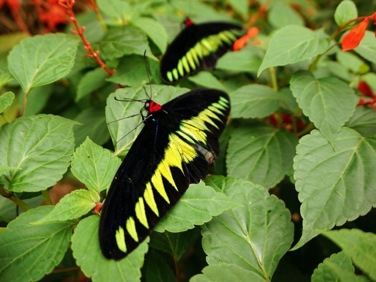 tips cameron highlands - vlinder