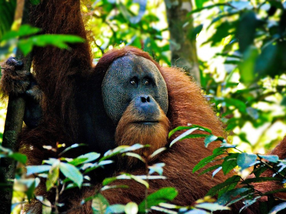 indonesie reis eilanden kiezen - orang oetan
